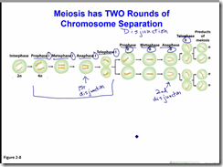 Meiosis stages